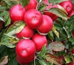 ORLICKÉ HORY, Synkovská jablíčka